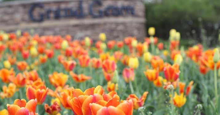 Tulips at the Grand Geneva Entrance
